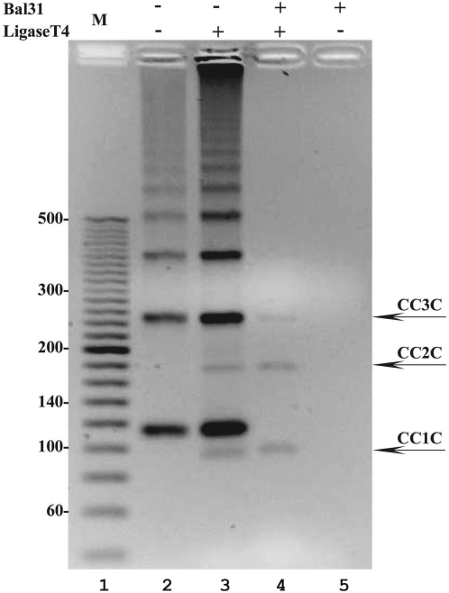 The formation and purification of 94-bp-long covalently closed DNA minicircles. A 2.5% agarose gel run in the presence of ethidium bromide (0.5 µg/ml) reveals that after the ligation reaction of minicircles with nicks, new species appear on the gel (compare lanes 3 with 2). Only these new species resist digestion by <t>Bal31</t> (lane 4) indicating that they are covalently closed DNA molecules. The electrophoretic migration of these new species is as expected for monomeric, dimeric and trimeric rings that acquired writhe due to ethidium bromide intercalation to covalently closed DNA molecules.