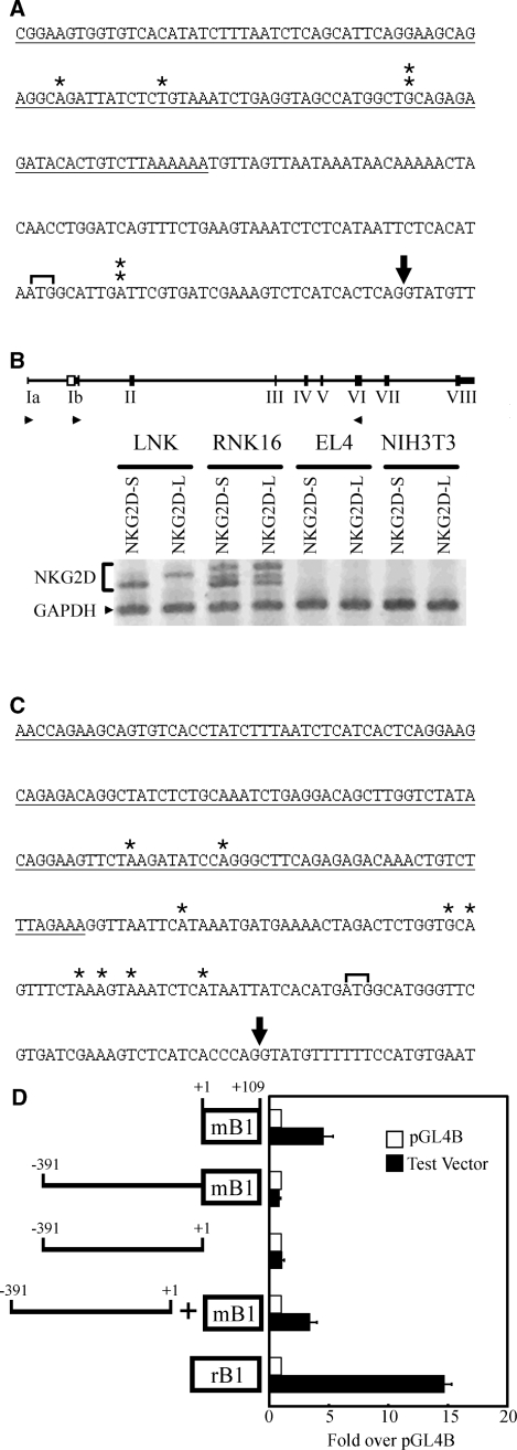 Detection of polymerase II promoter in SINE elements. ( A ) RLM-5′RACE of mouse Nkg2d . Sequence shown corresponds to chr6:129 572 548–29 572 772 of the mouse genome from UCSC Genome Browser (mm9 assembly). Underlined sequence represents the mB1 element inserted in front of exon 1b. Single stars mark transcription start sites found in C57BL/6 mouse spleen. Stacked double stars mark transcription start sites found in LNK mouse cell line. ATG1 start codon for mNKG2D-L is in brackets. Splice donor site of exon 1b is denoted with an arrow. ( B ) Detection of Nkg2d splice forms in LNK, RNK16, EL4 and NIH 3T3 cell lines with RT–PCR. The mouse exon–intron structure of Nkg2d is shown with exons labelled in roman numerals. Primers used are shown as arrowheads. ( C ) 5′RACE of rat Nkg2d . Sequence shown corresponds to chr4:166 923 873–166 924 142 of the rat genome from UCSC Genome Browser (rn4 assembly). Single stars mark transcription start sites found in Sprague–Dawley rat spleen. Underlined sequence represents the rB1 element. ATG1 start codon for rNKG2D-L is in brackets. Splice donor site of exon 1b is denoted with an arrow. ( D ) Luciferase reporter assay of SINE elements. Fragments including the rodent SINEs and 391-bp upstream of the mouse SINE were cloned into pGL4B and assayed using a dual-luciferase system. Promoter activity was normalized to co-transfected Renilla luciferase activity and calculated as fold above pGL4B. Data indicate mean (±SD) of three independent experiments.