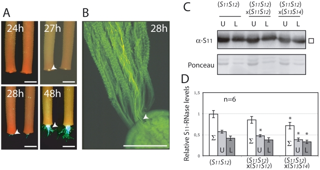 S-RNases are not translocated within the style during compatible crosses. The position of pollen tubes from transgenic S 11 S 13 plants expressing the fluorescence marker GFP (white arrowheads) within the styles of S 12 S 12 line 2548 plants was visualized by fluorescence microscopy at various times post pollination. Styles were harvested five hours post-pollination, cultured in vitro and observed by fluorescence microscopy (A). Pollen tubes grown in situ and visualized by aniline blue can also be seen to enter the ovarian region (white arrowheads) 28 hours after pollination and observed by fluorescence microscopy (B). All scale bars are 1 mm. Levels of S 11 -RNase in the upper (U) and lower (L) halves of individual size-selected styles from plants of the S 11 S 12 line 314 left unpollinated, after incompatible (self) and compatible (× S 13 S 14 ) pollinations were measured separately (C). Levels of S 11 -RNase were quantified by PhosphorImager and reported relative to total stylar RNase levels of unpollinated styles (D). Total stylar RNase levels (Σ) were calculated as the sum of upper and lower half measurements. Values are means±s.d. of S 11 -RNase levels from 2 independent experiments. Asterisks are significantly different (p