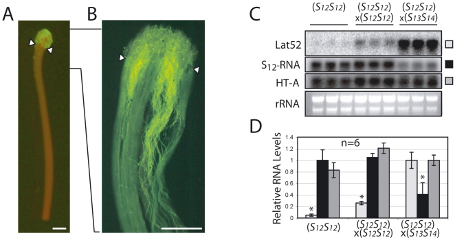 Pollen mRNA levels remain high and stylar S-RNase transcript levels decrease during compatible crosses. The stigma of S 12 S 12 line 2548 plants, observed twenty-four hours post-pollination with GFP-expressing pollen from transgenic S 12 S 12 plants, shows considerable amounts of GFP when observed by fluorescence microscopy (A), although actively growing pollen tube tips, as visualized by fluorescence microscopy of the fully incompatible cross (line 2548 selfed) stained with aniline blue, have entered the style (B). The stigmatic region (arrowheads) was removed before RNA extraction in order to measure pollen mRNA only in growing pollen tubes. All scale bars are 1 mm. Transcript levels using the indicated probes (pollen Lat52; stylar S 12 -RNase and HT-A) were measured in pools of twenty styles taken from the S 12 S 12 line 2548 either without pollination, after a fully incompatible cross (selfed) or after a fully compatible cross (× S 13 S 14 ). The same amount of RNA as determined by OD measurement was loaded in each lane (C). Levels of each mRNA were quantified by PhosphorImager and reported relative to values in unpollinated styles (for S 12 -RNase) or in compatible crosses (for Lat52 and HT-A). Values are means±s.d. of the mRNA levels from 2 independent experiments. Asterisks are significantly different (p