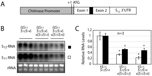 Compatible pollen triggers a decrease in S-RNase transcript levels by a post-transcriptional mechanism. (A) An S 11 -RNAse transgene containing the entire S11-RNase coding sequence and 3'UTR (white) under control of the style-specific chitinase gene promoter and 5'UTR (gray). (B) Northern blot analysis of S 12 S 14 plants expressing the transgenic S 11 -RNase, either without pollination, after a fully incompatible cross (× S 12 S 12 ) or after a fully compatible cross (× S 15 S 16 ) using gene probes against either the S 11 - or the S 12 -RNase transcript. (C) Levels of both S 11 - and S 12 -RNase transcripts (white and black bars, respectively) were quantified by <t>PhosphorImager</t> and reported relative to unpollinated styles. Values are means±s.d. of S-RNase transcript mRNA levels. Asterisks are significantly different (p