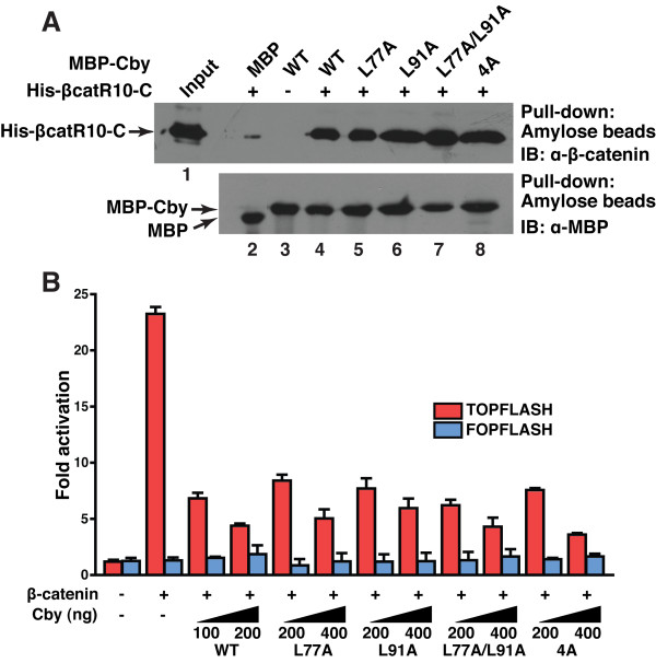 Cby homodimerization is dispensable for its interaction with β-catenin and for repression of β-catenin signaling activity . (A) Binding of Cby point mutants to β-catenin was evaluated by in vitro pull-down assays. Bacterially produced MBP or individual MBP-Cby protein was incubated with His-tagged β-catenin C-terminal domain (His-βcatR10-C). The protein complexes were then pulled down with amylose resin and subjected to Western blotting using anti-β-catenin antibody (top panel). The input lane was loaded with one-fiftieth of the amount of His-βcatR10-C used in the binding reactions (lane 1). One-thirtieth of each pull-down sample was run on a separate SDS-PAGE and immunoblotted with anti-MBP antibody, showing that similar amounts of MBP-Cby protein were pulled down (bottom panel). (B) The ability of Cby mutants to repress β-catenin signaling was tested by TOPFLASH assays. HEK293T cells were transfected with 60 ng of TOPFLASH or mutant FOPFLASH luciferase reporter, with or without 40 ng of an expression vector for stabilized β-catenin (β-catenin-Myc), and the indicated amounts of a Flag-tagged Cby expression vector. Luciferase activity was measured 24 hr post-transfection, and normalized to Renila luciferase activity used as an internal control. Transfections were carried out in triplicate and the means ± SD are shown. Note that, to compensate protein levels, higher amounts of plasmid DNA for the Cby mutants were used for transfection.