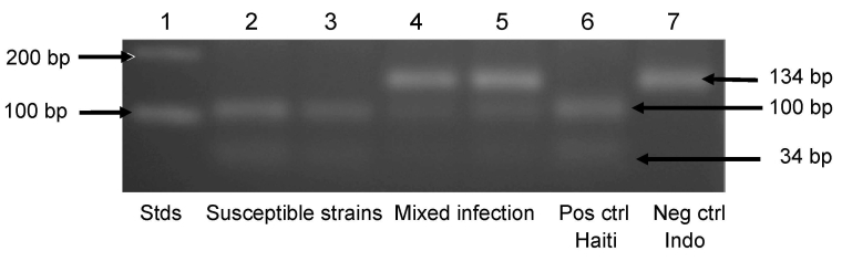 Agarose gel electrophoresis of amplicons for the Plasmodium falciparum chloroquine (CQ) resistance transporter gene digested with Apo I. Lane 1, DNA molecular mass standards (Stds) (Invitrogen, Carlsbad, CA, USA); lanes 2 and 3, amplicons susceptible to cleavage by Apo I, showing 2 fragments of 100 and 34 bp, consistent with infection by only CQ-susceptible haplotype parasites; lanes 4 and 5, amplicons partially resistant to cleavage by Apo I, showing 3 fragments of 134, 100, and 34 bp, consistent with mixed infections by CQ-resistant and CQ-susceptible haplotype parasites; lane 6, positive control (Pos ctrl), amplicon from CQ-susceptible Haiti I/CDC strain ( 26 ), showing 2 fragments of 100 and 34 bp; lane 7, negative control (Neg ctrl), amplicon from CQ-resistant Indochina (Indo) I/CDC strain ( 33 ), showing 1 fragment of 134 bp.