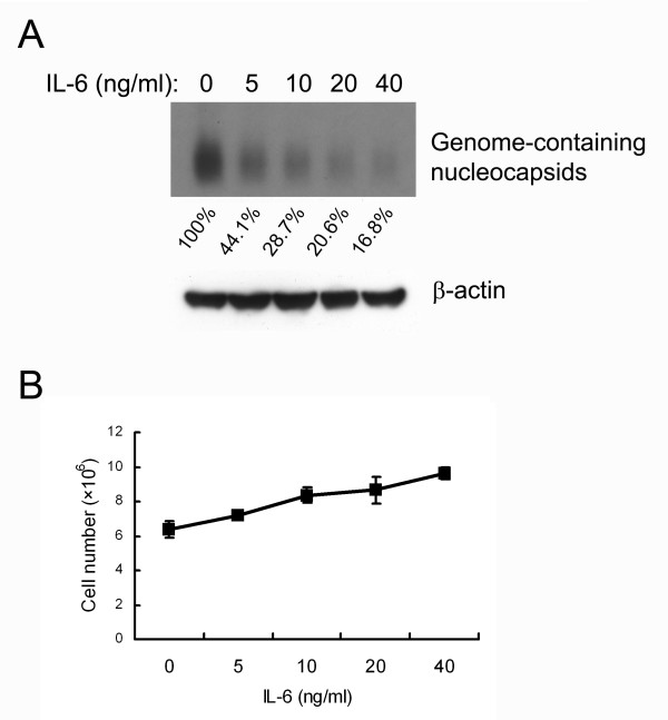 IL-6 suppresses HBV replication in a dose-dependent manner . (A) 1.3ES2 cells were treated 6 days after plating (when the cells had reached confluence) with various doses of IL-6 (0, 5, 10, 20, 40 ng/ml). The cell lysates were harvested after 4 days treatment with IL-6 and equal amounts of sample were analyzed by particle blot analysis using native agarose gel electrophoresis. HBV genome-containing nucleocapsids were detected by Southern blot analysis of the disrupted nucleocapsids, using an HBV-specific probe. Expression of β-actin was used as an internal control for sample loading. The signals were quantified by densitometry analysis and expressed as percentage of the control cells to indicate the inhibitory effect of IL-6. (B) Effect of IL-6 on growth curve. The cells were treated with IL-6, as described above. The cell number was determined by the trypan blue exclusion method.