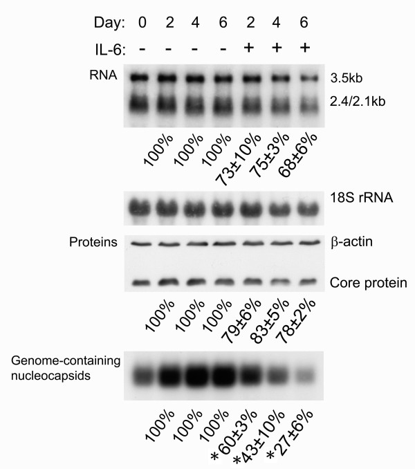 IL-6 decreases the levels of HBV transcripts, core protein, and genome-containing nucleocapsids . Confluent cells (day0) were treated with or without 20 ng/ml of IL-6 for 2 days (day2), 4 days (day4) or 6 days (day6). For RNA analysis (panel for RNA), total RNAs were extracted and equal amounts of samples were subjected to Northern blot analysis to reveal the expression profile of the HBV transcripts, namely those of 3.5-kb and 2.4-kb/2.1-kb respectively. The expression level of 18S rRNA was used as an internal control for sample loading. For Western blot analysis (panel for Proteins), cell lysates were harvested and equal amounts of samples were separated by SDS-polyacrylamide gel electrophoresis. The total core protein was subsequently detected by immunoblot analysis with antibodies against core protein. The expression level of β-actin was used as an internal control for sample loading. For particle blot analysis, equal amounts of cell lysates were assayed for viral capsid by native agarose gel electrophoresis. HBV genome-containing nucleocapsids were then detected by Southern blot analysis of the disrupted nucleocapsids using an HBV-specific probe (panel for Genome-containing nucleocapsids). The signals including 3.5-kb RNA, core proteins and genome-containing nucleocapsids were quantified by densitometry analysis and expressed as the average percentage of respective control cells from three independent experiments to indicate the inhibitory effect of IL-6. Results shown are representative of three independent experiments. *: The reduction in levels of HBV genome-containing nucleocapsids was compared with that of core proteins and found to be highly significant (P