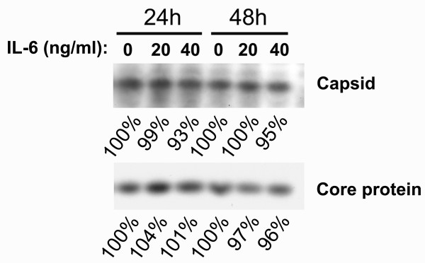 IL-6 does not disrupt the HBV nucleocapsids . To assess the IL-6 effect on the stability of HBV nucleocapsids, confluent cells were labeled with [ 35 S] methionine-cysteine protein labeling mix for 6 h and then chased in the absence or presence of IL-6 (20 ng/ml or 40 ng/ml) for 24 h or 48 h. Cell lysates were harvested and the nucleocapsids were separated from free core protein by centrifugation through a Centricon-100 filter with a retention cutoff of 100 kDa. Total core protein and nucleocapsids were then immunoprecipitated using an anti-core antibody and separated by SDS-polyacrylamide gel electrophoresis. The labeled core protein was visualized by autoradiography. The signals were quantified by densitometry analysis and expressed as percentage of the respective control cells to indicate the IL-6 effect on capsid stability. Results shown are representative of three independent experiments.