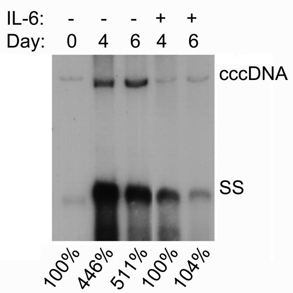 IL-6 decreases the formation of HBV cccDNA . Confluent cells (day0) were treated with or without 20 ng/ml of IL-6 for 4 days (day4) or 6 days (day6) and subjected to Hirt extraction to prepare HBV cccDNA. The Hirt extract was thermally denatured at 85°C for 5 min, digested with EcoRI and analyzed by Southern blotting using an HBV-specific probe. Bands corresponding to HBV cccDNA and HBV single-stranded DNA (SS) are indicated. The signals were quantified by densitometry analysis and expressed as percentage of the control cells to indicate the IL-6 effect on the accumulation of HBV cccDNA.