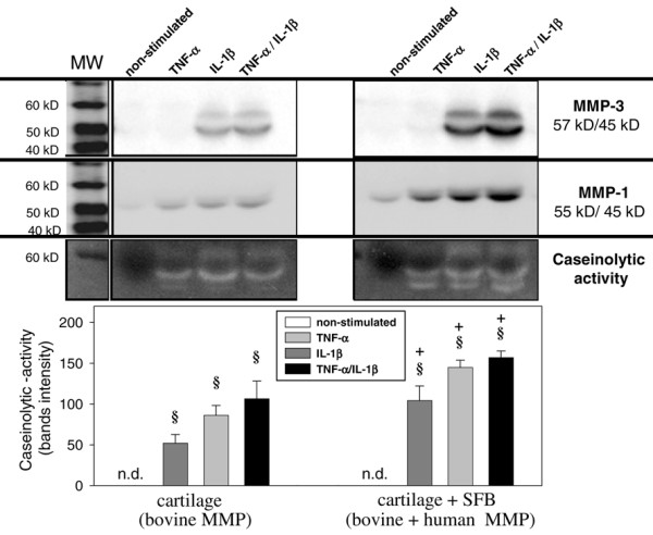 Caseinolytic activity. Supernatants of cartilage monocultures (n = 5, with two replicates each) and co-cultures with synovial fibroblasts (SFB) (n = 5, with two replicates each) with/without stimulation with TNF-α, IL-1β or TNF-α/IL-1β (14 days) were used. In order to assess the total caseinolytic activity (lower panel), the bands for both the active and the latent forms were used for quantification. Means +/- standard error of the mean are plotted. § p ≤ 0.05 Mann-Whitney U Test compared with non-stimulated control; + p ≤ 0.05 Mann-Whitney U Test compared with cartilage monoculture. Parallel analysis of the supernatants by western blot revealed that bovine/human matrix metalloproteases (MMP) 1 and MMP-3 (upper and middle panel) are responsible for the caseinolytic enzyme activity in culture supernatants.