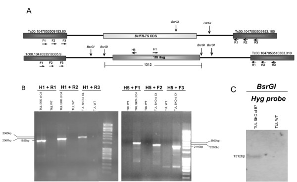Replacement of dhfr-ts gene with a MS/GW construct pDEST/dhfr-ts_1F8Hyg . A) Schematic of the expected genomic loci of dhfr-ts and 1f8Hyg in dhfr-ts +/- / Hyg parasites. B) PCR analysis with gDNA from cloned drug resistant parasites and WT Tulahuen parasites confirm the expected gene deletion of one allele of the dhfr-ts gene and correct insertion of 1f8Hyg . Primer H1 plus the R1, R2 or R3 downstream primers, yield the expected products of 1.8, 2.0 and 2.3 kb, respectively and the combination of H5 plus upstream primers F3, F2 and F1 give the predicted bands of 2.1, 2.4 and 2.8 kb for respectively. See additional file 3 : Table S5 for nucleotide sequences of primers. C) Genomic DNA Southern blot analysis of a dhfr-ts +/- / Hyg Tulahuen clone. gDNA digested with BsrGI and hybridized with labeled Hyg CDS probe. Diagram not to scale. Numbers are sizes (bp) of expected products.
