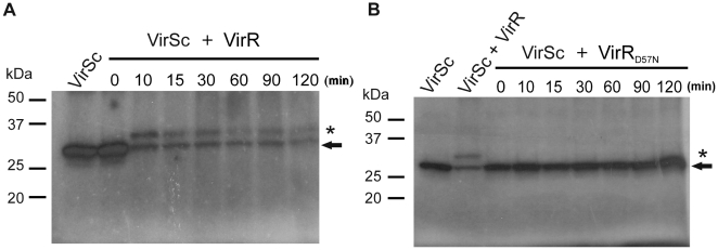 Phosphotransfer from VirSc to VirR. VirSc (10 µM) was incubated in phosphotransfer buffer in the presence of [γ- 32 P]ATP at room temperature before purified (A) VirR or (B) VirR D57N was added. Reactions were incubated at room temperature for the time indicated above each well. The first lane of each gel contains autophosphorylated VirSc, while subsequent lanes show the reactions with both phosphorylated VirSc and VirR or VirR D57N . The band corresponding to phosphorylated VirSc (∼27 kDa) or VirR (∼32 kDa) is indicated by the arrow or an asterisk, respectively. Molecular size markers (kDa) are as indicated.