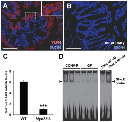 SAA3 expression in the mouse colon may be stimulated by TLR/MyD88/NF-κB signaling. (A) Representative immunostaining for TLR4 ( red ) and bis -benzimide-positive nuclei ( blue ) in CONV-R mice. (B) Primary antibody omitted. Scale bars = 100 µm. (C) qRT-PCR analysis of colonic SAA3 mRNA expression levels in microbiota-associated wild-type (WT) and Myd88−/− mice (n = 10−13 mice per group). *** P