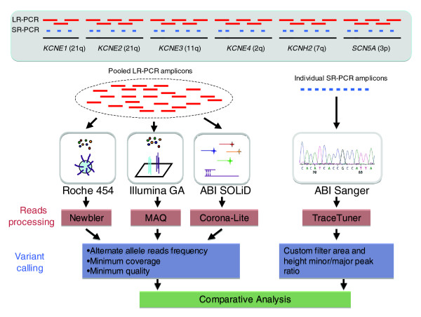Overview of experimental design. Six genomic intervals, each encoding genes for K + /Na + voltage-gated channel proteins, were amplified using DNA from four individuals and LR-PCR reactions to generate 260 kb of target sequence per sample. Amplicons from each individual were pooled in equimolar amounts and then sequenced using the three NGS platforms. The 260 kb examined in this study is representative of human sequences containing 38% repeats and 4% coding sequence compared with 47% and 1%, respectively, genome-wide. For each sample 88 kb was amplified using short range PCR (SR-PCR) reactions targeting the exons and evolutionarily conserved intronic regions. Each SR-PCR amplicon was individually sequenced in the forward and reverse directions using the ABI-3730xL platform (Additional data file 2). Data generated from the NGS platforms were analyzed to identify bases variants from the reference sequence (build 36) and the quality of the variant calls was assessed using platform specific methodologies. A comparative analysis of the sequence data from the NGS platforms and ABI Sanger was then performed to determine accuracy, and false positive and false negative rates.