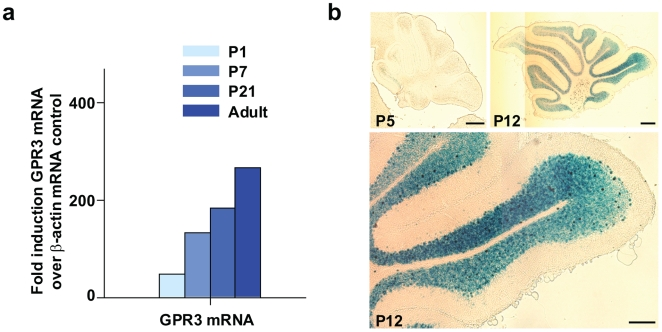 GPR3 expression during postnatal rat and mouse cerebellar development. Panel a: Total mRNA was extracted from rat cerebelli (N = 12–15 per time point) at 4 different developmental stages (P1, P7, P21) and adult (7 to 8 weeks). RNA samples were subjected to quantitative RT-PCR analysis using probes and primers specific to rat GPR3 . Data were adjusted using β-actin mRNA as control. Panel b: To determine the distribution of GPR3 in the developing postnatal cerebellum, a GPR3−/−; LacZ +/+ mouse was employed, where the E. coli LacZ gene was substituted into the GPR3 locus and was thus under transcriptional control of the endogenous GPR3 promoter. Staining for β-galactosidase expression revealed increased activation of transcriptional activity of the GPR3 promoter in the internal granular layer of cerebellum from P5 to P12 stages of postnatal development. Scale bar = 100 µm.