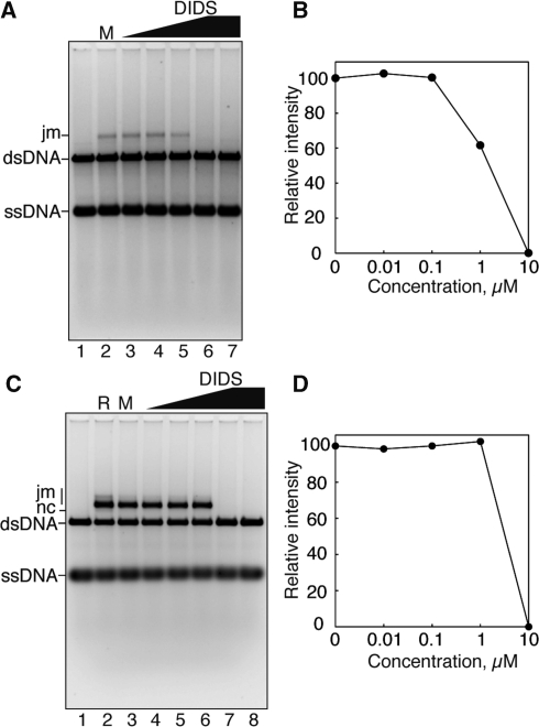 DIDS efficiently inhibits RAD51-mediated strand exchange. ( A ) DIDS titration experiments in the absence of 0.2 M KCl. The ϕX174 circular ssDNA (20 μM) was incubated with RAD51 (6 μM) in the presence of DIDS at 37°C for 10 min. After this incubation, 2 μM RPA was added to the reaction mixture, which was incubated at 37°C for 10 min. The reactions were then initiated by the addition of 20 μM ϕX174 linear dsDNA. The DNA products were then deproteinized, and were separated by 1% agarose gel electrophoresis in 1× TAE buffer at 3.3 V/cm for 4 h. The products were visualized by SYBR Gold (Invitrogen) staining. Joint molecule is indicated by jm. Lane 1 indicates a negative control experiment without RAD51. Lane 2 indicates an experiment with RAD51 and 5% methanol in the absence of DIDS. DIDS concentrations were 0.01 μM (lane 3), 0.1 μM (lane 4), 1 μM (lane 5) and 10 μM (lane 6). Lane 7 indicates an experiment with 10 μM DIDS in the absence of RAD51. ( B ) Graphic representation of the experiments shown in (A). The band intensities of the jm product were quantified as the peak volumes of densitometric scans. The jm peak volumes relative to that in the reaction without DIDS (A, lane 2) were plotted against the DIDS concentration. ( C ) The strand-exchange assay in the presence of 0.2 M KCl. Lane 1 indicates a negative control experiment without RAD51. Lanes 2 and 3 indicate control experiments without DIDS with RAD51 in the absence and presence of 5% methanol, respectively. DIDS concentrations were 0.01 μM (lane 4), 0.1 μM (lane 5), 1 μM (lane 6) and 10 μM (lane 7). Lane 8 indicates an experiment with 10 μM DIDS in the absence of RAD51. ( D ) Graphic representation of the experiments shown in (C). The band intensities of the jm products were quantified as the peak volumes of densitometric scans. The jm peak volumes relative to that in the reaction without DIDS (C, lane 3) were plotted against the DIDS concentration.