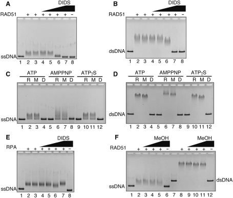 DIDS inhibits DNA binding by RAD51. ( A ) The ssDNA-binding experiments in the presence of ATP. The ϕX174 circular ssDNA (40 μM) was incubated with RAD51 (2 μM) in the presence of DIDS at 37°C for 15 min. The samples were analyzed by 0.8% agarose gel electrophoresis in 1× TAE buffer. The bands were visualized by ethidium bromide staining. Lane 1 indicates a negative control experiment without RAD51. Lane 2 indicates an experiment with RAD51 alone. Lane 3 indicates an experiment with RAD51 and 5% methanol. DIDS concentrations were 0.1 μM (lane 4), 1 μM (lane 5), 10 μM (lane 6) and 20 μM (lane 7). Lane 8 indicates an experiment with 20 μM DIDS in the absence of RAD51. ( B ) The dsDNA-binding experiments in the presence of ATP. The linear ϕX174 dsDNA (10 μM) was incubated with RAD51 (1 μM) in the presence of DIDS at 37°C for 15 min. Lane 1 indicates a negative control experiment without RAD51. Lane 2 indicates an experiment with RAD51 alone. Lane 3 indicates an experiment with RAD51 and 5% methanol. DIDS concentrations were 0.01 μM (lane 4), 0.1 μM (lane 5), 1 μM (lane 6) and 10 μM (lane 7). Lane 8 indicates an experiment with 10 μM DIDS in the absence of RAD51. ( C ) The ssDNA-binding experiments in the presence of ATP, AMPPNP and ATPγS. The ϕX174 circular ssDNA (40 μM) was incubated with RAD51 (2 μM) at 37°C for 15 min. Lanes 1–4, lanes 5–8 and lanes 9–12 represent experiments with ATP, AMPPNP and ATPγS, respectively. Lanes 1, 5 and 9 indicate negative control experiments without RAD51. Lanes 2, 6 and 10 indicate experiments with RAD51 alone. Lanes 3, 7 and 11 indicate experiments with RAD51 and 5% methanol. Lanes 4, 8 and 12 indicate experiments with RAD51 and DIDS (20 μM). ( D ) The dsDNA-binding experiments in the presence of ATP, AMPPNP and ATPγS. The linear ϕX174 dsDNA (10 μM) was incubated with RAD51 (1 μM) in the presence of DIDS at 37°C for 15 min. Lanes correspond to those in (C). The DIDS concentration was 10 μM. ( E ) Effect of DIDS on the ssDNA binding of RPA. The ϕX174 circular ssDNA (40 μM) was incubated with RPA (0.5 μM) in the presence of DIDS at 37°C for 15 min. Lanes 1 and 8 indicate negative control experiments without RPA. Lanes 2 and 3 indicate experiments with RPA in the absence and presence of 5% methanol, respectively. The DIDS concentrations were 0.1 μM (lane 4), 1 μM (lane 5), 10 μM (lane 6) and 20 μM (lanes 7 and 8). ( F ) The ssDNA-binding and dsDNA-binding experiments with RAD51 were performed in the presence of methanol. Lanes 1–6 and lanes 7–12 indicate experiments with ssDNA and dsDNA, respectively. Lanes 1, 6, 7 and 12 are negative controls without RAD51, and lanes 2 and 8 are positive controls with RAD51 in the absence of methanol. Methanol concentrations were 2.5% (lanes 3 and 9), 5% (lanes 4 and 10) and 10% (lanes 5, 6, 11 and 12).