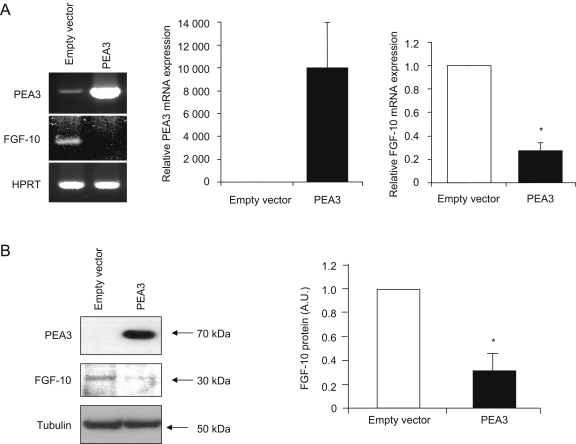 Over-expression of PEA3 in MDA-MB-231 cells decreases Fgf-10 expression. Full-length human PEA3 cDNA (NM_001079675.1) was cloned into the pcDNA4/TO expression vector and transfected into the metastatic breast cancer cell line MDA-MB-231, with empty vector transfection serving as a control. PEA3 transfection resulted in a dramatic increase in both PEA3 mRNA (A) and protein (B) expression levels after 48 h. Concomitant with this, real-time RT-PCR showed that Fgf-10 expression was reduced to approximately 73% of the level measured in control cells (A), and this was reflected in a similar decrease (70%) in protein levels (B). HPRT and tubulin levels were measured as loading/quality controls for mRNA and protein, respectively. Real-time RT-PCR data were analysed using the 2 −ΔΔCt method. All quantitation represents data from at least three independent experiments, and reflects either real-time RT-PCR data (n=5; each in triplicate) (A) or Western blot densitometry (n=3) (B). Statistical significance was determined with Student's t -test. Results were considered significant at P