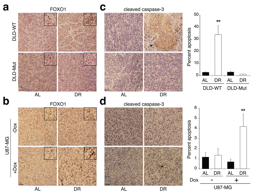 Effects of modulation of PI3K signaling on the apoptotic response of tumours to DR a-d , Immunohistochemical analyses of FOXO1 (a, b) and cleaved caspase-3 (c, d) in tumours formed by DLD-WT and DLD-Mut cells and by the PTEN-inducible U87-MG cells in mice treated or non-treated with doxycycline (Dox). Graphs to right of images indicate percent of total cells that are positive for cleaved caspase-3. Data in c and d graphs are means ± s.e.m, measured in 9 images (1000 nuclei counted per image) from 3 different tumours per group. ** indicates P ≤ 0.01. All images were acquired at the same magnification and scale bar = 20 µm. Framed inserts in a and b are a 3.9-fold magnification of a representative area of the corresponding larger image. Arrows point to immunoreactivity for FOXO1 (a, b) or cleaved caspase-3 (c and d).