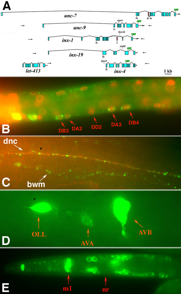 Expression patterns of other neuronal innexins . (A) Predicted gene structures of neuronal innexins. Arrows indicate primer binding sites used for <t>PCR-amplified</t> green fluorescent protein <t>(GFP)</t> constructs (see Materials and methods). (B) INX-1::GFP expression (green) in motor neurons; DAPI stained nuclei in red. (C) INX-1::GFP expression (green) in dorsal nerve cord (dnc) and body wall muscles (bwm); dorsal nerve cord is visualized with anti-UNC-33 antibody (red). (D) INX-19::GFP expression in AVA and AVB interneurons. (E) INX-4::GFP expression in sensory neurons and pharyngeal m1 muscle cell. Abbreviations: nr, nerve ring.