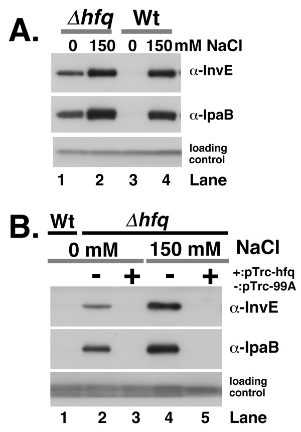 A. InvE and IpaB expression in the hfq deletion mutant . Wild-type strain MS390 and the hfq mutant strain MS4831 were cultured in YENB media with or without NaCl, and then subjected to Western blot analysis. Strains and concentration of NaCl are indicated above the panels. Antibodies used in the experiment are indicated on the right side of the panels. B. Effect of ectopic Hfq expression on InvE and IpaB in the hfq mutant . hfq deletion mutants carrying an Hfq expression plasmid or a control plasmid were subjected to Western blot analysis. Strains were grown in YENB medium containing ampicillin and IPTG, or YENB medium containing ampicillin, IPTG and 150 mM NaCl at 37°C, and then harvested. Strains, concentration of NaCl and plasmids (minus, pTrc99A; plus, pTrc-hfq) are indicated above the panel. Lane 1, wild-type strain MS390 grown in YENB medium; Lane 2, Δ hfq (pTrc99A) grown in YENB plus 0.1 mM IPTG; Lane 3, Δ hfq (pTrc-hfq) grown in YENB plus 0.1 mM IPTG; Lane 4, Δ hfq (pTrc99A) grown in YENB with 150 mM NaCl plus 1 mM IPTG; Lane 5, Δ hfq (pTrc-hfq) grown in YENB with 150 mM NaCl plus 1 mM IPTG.