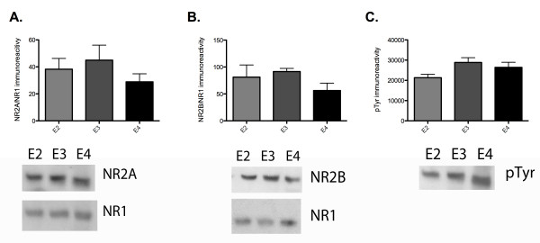 Effect of chronic apoE isoform expression on NR2A, NR2B levels and tyrosine phosphorylation . A) Levels of NR2A immunoreactivity, standardized to NR1 immunoreactivity, from CA1 of apoE TR animals. B) Levels of NR2B immunoreactivity, standardized to NR1 immunoreactivity, from CA1 of apoE TR animals. C) Levels of phosphotyrosine immunoreactivity at the molecular weight corresponding to NR2A and NR2B from CA1 of apoE TR animals. apoE2 TR (E2, medium grey), apoE3 TR (E3, dark grey), apoE4 TR (E4, black). Data expressed as mean ± SEM.