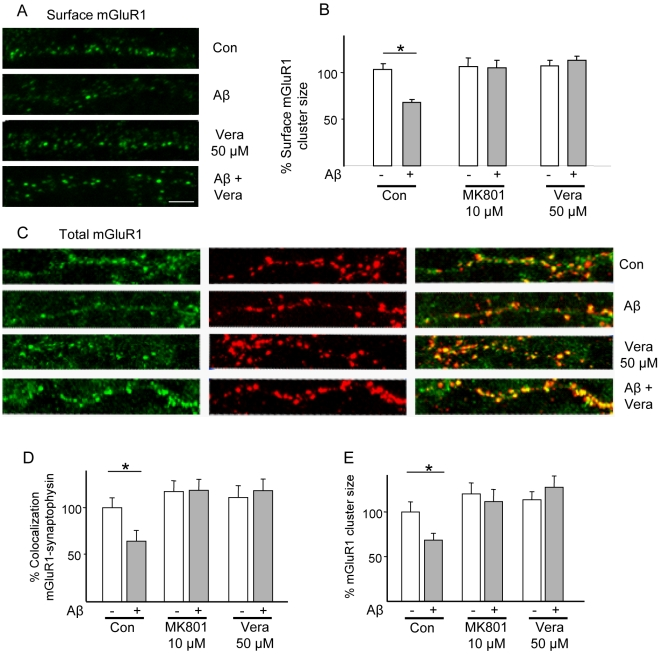 Dispersal of synaptic mGluR1 clusters by Aβ requires NMDAR and VDCC activity. Rat cortical neurons were treated with Aβ (1 µM) for 1 h (with or without co-treatment with the NMDAR antagonist MK801, or the VDCC blocker verapamil) and then immunostained for surface mGluR1 before fixation. (A, B) Aβ downregulates surface mGluR1 (surface cluster size 66.0±2.8%, N = 10, n = 300, p