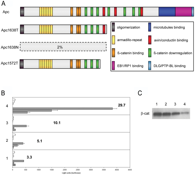 Biochemical characterization of the targeted Apc 1572T allele. (A) Schematic representation of the APC tumor suppressor protein, its functional domains, and the truncated proteins resulting from the Apc 1572T, Apc 1638N, and Apc 1638T targeted alleles. Only residual amounts (2%) of the truncated Apc1638N protein are encoded by the targeted allele, as shown by immuno-precipitation analysis of Apc 1638N/1638N ES lines [5] . (B) β-catenin/TCF reporter assay (TOP-FLASH) analysis of Apc +/+ (1) and Apc -mutant ES cell lines: Apc 1638T/1638T (2); Apc 1572T/1572T (3); Apc 1638N/1638N (4). Each bar represents the average measurement of the luciferase units from triplicate assays. For each cell line, 3 independent experiments were performed with the TOP (filled bars) and FOP (empty bars) reporter constructs. The bold figures represent the average TOP/FOP ratio of all independent experiments. Depicted error bars correspond to standard deviation. In brief, ES cells were plated on dishes coated with MEFs and subsequently transfected by lipofection with either the TOP-FLASH or FOP-FLASH reporter constructs [10] together with the Renilla luciferase vector for normalization purposes. (C) Immuno-precipitation (IP) analysis of Apc-bound β-catenin in Ap c-mutant ES cell lines. For comparative purposes, immuno-precipitates obtained from equal amounts of total cellular lysates were loaded.