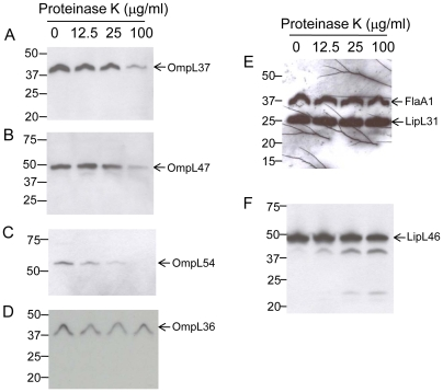 Surface localization of L. interrogans serovar Copenhageni strain Fiocruz L1–130 proteins by proteinase K treatment. Whole intact spirochetes were incubated with different concentrations of proteinase K, equivalents of 1×10 8 of leptospires per lane separated by gel electrophoresis (Bis-Tris 4–12% NuPage gel, Novex), transferred to a PVDF membrane, and probed with polyclonal rabbit antisera against: (A) OmpL37; (B) OmpL47; (C) OmpL54; (D) OmpL36; (E) FlaA1 and LipL31; (F) LipL46. The identities of individual proteins are indicated on the right, and the positions of molecular mass standard (in kilodaltons) are indicated on the left.