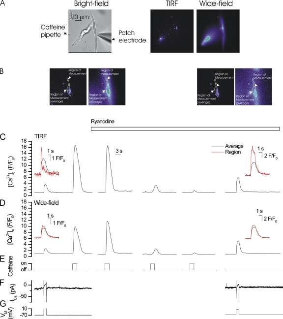 Depletion of the SR of Ca 2+ changes does not reduce the [Ca 2+ ] increases in subplasma membrane space or bulk cytoplasm in voltage-clamped single colonic myocytes. Depolarization (−70 to +10 mV; G) activated a voltage-dependent Ca 2+ current (I Ca ; F) to evoke a rise in [Ca 2+ ] (C and D). The rise in [Ca 2+ ], which occurred in some regions (B, left panels) of the subplasma membrane space (measured by TIRF; red line in inset in C), were more rapid in both onset and decline than that seen in average measured in the subplasma membrane space (black red line in inset in C; B and E). The same regions in the bulk cytoplasm (measured by wide-field epi-florescence; B, left panels) had approximately comparable rates of rise and decline (D, inset). 10 mM caffeine (E) applied by pressure ejection from a puffer pipette (A, left side; see also whole cell patch electrode [right side]) evoked increases in [Ca 2+ ] (C and D). 50 µM <t>ryanodine</t> (C, open bar above the trace) after repeated application of caffeine to open RYR abolished the [Ca 2+ ] increase to caffeine presumably because of SR store depletion. In contrast, the depolarization-evoked [Ca 2+ ] increase was not reduced in either subplasma membrane space or bulk cytoplasm. After inhibition of the caffeine-evoked [Ca 2+ ] increase, the depolarization-evoked [Ca 2+ ] PM or [Ca 2+ ] c increase were not reduced. Furthermore, localized increases in regions of the subplasma membrane space measured by TIRF (red line in inset in C) were more rapid in onset and decline than those seen in average measured in the subplasma membrane space (black red line in inset in C; B and E). This result suggests that SR Ca 2+ release does not contribute substantially to the depolarization-evoked [Ca 2+ ] PM or [Ca 2+ ] c increases. Changes in the fluorescence ratio with time (C and D) are derived from 1-pixel boxes (B) and from a larger region encompassing the entire TIRF region (B). The latter was used to obtain an average subplasma memb