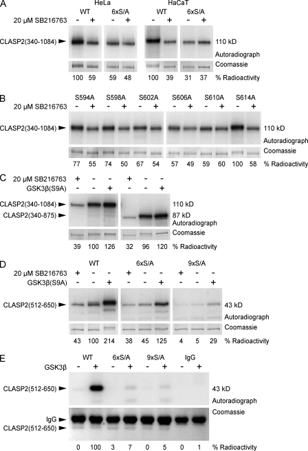 Analysis of CLASP2 phosphorylation. (A–D) Metabolic labeling of tissue culture cells with [ 32 P]-labeled phosphate. EGFP-tagged CLASP2 constructs were immunoprecipitated and analyzed by SDS-PAGE. Top panels show autoradiograph, and bottom panels show the corresponding Coomassie-stained gel as loading control. Quantification of radioactivity incorporation by densitometry is shown below the gel images. (A) In both HeLa and HaCaT cells, GSK3β inhibition with 20 µM SB216763 decreases CLASP2(340–1,084) phosphorylation. Mutation of the GSK3β motif between S594 to S614 (6×S/A) eliminates GSK3β-dependent phosphorylation. (B) Mutation of individual serine residues between S594 and S614 shows that S614 is not part of the motif and reveals hierarchical phosphorylation by GSK3β. (C) The domain required for CLASP2 association along lamella MTs (875–1,084) is not required for efficient phosphorylation by GSK3β. (D) Combined mutation of the GSK3β motifs between S568 to S576 and S594 to S614 (9×S/A) is required to completely abolish phosphorylation of the MT plus end tracking domain CLASP2(512–650) by constitutively active GSK3β(S9A). (E) In vitro phosphorylation of immunoprecipitated EGFP-CLASP2(512–650) by purified GSK3β in the presence of γ-[ 32 P]ATP.