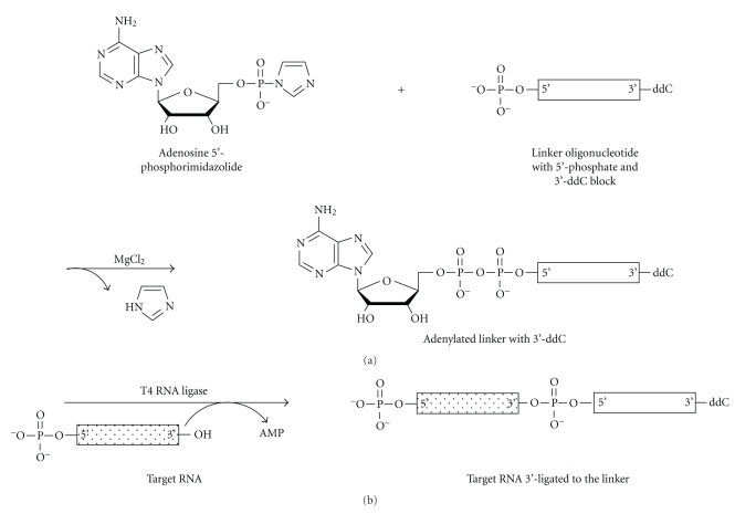 Synthesis and ligation of high efficiency 3′ adenylated cloning linkers. (a) An adenosine 5′-phosphorimidazolide is attached, in the presence of magnesium chloride, to a synthetic deoxyribo-oligonucleotide bearing a dideoxycytidine (ddC) block on its 3′ end and a free, reactive phosphate group on its 5′ end. (b) The synthetic, preactivated 3′ linker is ligated to target small RNAs in the presence of T4 RNA Ligase. This reaction is carried out with high efficiency in the absence of ATP to prevent circularization of the target RNA species prior to ligation. Reaction energy is provided by the phosphorimidazolide at the 5′ end of the linker.