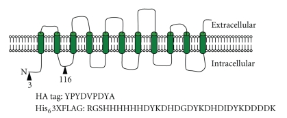 Epitope-tagged forms of AUX1. Diagrammatic representation of AUX1 constructs. The predicted membrane topology of AUX1 is shown with TM helices represented as cylinders. The epitope sequences for the HIS 6 3xFLAG and HA tags are shown with the sites of insertion represented as triangles, with the specific residue number for the insertion site below.