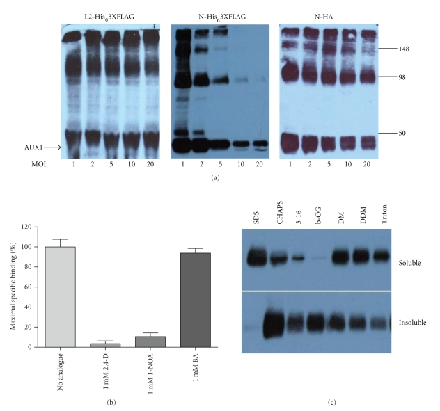 Expression of epitope-tagged AUX1 in insect cells. (a) Sf9 cells at densities of 2 × 10 6 cells/mL were infected with recombinant baculoviruses expressing epitope-tagged AUX1 at a range of multiplicity of infections (MOIs) and harvested at 24–96 hours postinfection (hpi). Cell lysates (10 μ g) were resolved by SDS-PAGE and identified by western blotting with appropriate antibodies directed towards the epitope tags. Panels show data for a 72-hour postinfection only. Molecular weight (kDa) of marker proteins is denoted at the right-hand side of the figure. (b) Auxin binding to AUX1-containing membranes (72 hours postinfection) was assessed by a centrifugation-based radioisotope binding assay [ 12 ]. AUX1 displacement could be observed when membranes were incubated with 1 mM auxin analogues such as 2,4-D and 1-NOA but not when the unrelated weak acid benzoic acid (BA) was applied. (c) Solubilisation of HA-AUX1 from insect cell membranes. 100 μ g of membranes were incubated for 60 minutes at 4°C with detergents at greater than 2X critical micelle concentration. Solubilised material was separated from insoluble material by ultracentrifugation and equal percentages of the two fractions resolved by SDS-PAGE and immunoblotting. Detergent abbreviations: 3–16: Zwittergent 3–16 (Calbiochem); β -OG: β -octyl-glucoside; DM: n -decyl- β -D-maltoside decylmaltoside; DDM: n -dodecyl- β -D-maltoside.