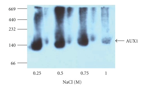 Blue native PAGE analysis of AUX1 expression in insect cells. N-HA-AUX1 membrane fractions from insect (Sf9) cells were solubilised in 0.1% (w/v) DDM in the presence of increasing concentrations of NaCl and were resolved by BN-PAGE on 6–16% gradient gels, transferred to PVDF and identified by immunoblotting with anti-HA antibodies. Molecular weight (kDa) of marker proteins is denoted at the left-hand side of the figure.
