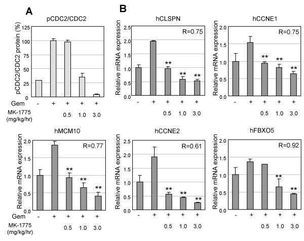 Expression changes of Wee1 inhibition signature in xenograft WiDr tumors and their correlation to classical PD marker, pCDC2 . Human WiDr colorectal cancer cells were injected subcutaneously into nude rats. After allowing tumors to establish for 8 days, gencitabine and Wee1 inhibitor were administered in the nude rats as described in the legend of Figure 3. At 8 hr post Wee1 inhibitor administration, mRNA from each WiDr xenograft tumor was applied to quantitative RT-PCR analysis. To correlate the <t>phosphorylated-CDC2</t> and Wee1 gene expression signature, the level of the pCDC2 normalized to total CDC2 is shown. The correlation coefficient (R) of pCDC2 expression and each mRNA expression is shown in each graph. Data represent mean ± SD. **, P