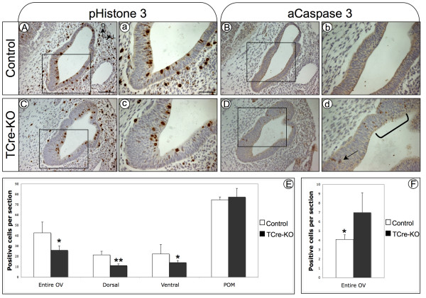 TCre-KO embryos exhibit defects in cell proliferation and survival . Transverse sections at E11.5 of control (A) and TCre-KO (C) embryos labeled for mitotic cells using an Ab against phospho-Histone 3. TCre-KO embryos display a decrease in cell proliferation in the otic epithelium compared to controls upon quantification (E). Proliferation was reduced in both dorsal and ventral regions of the otic vesicle, but not in the POM. For the dorsal otic vesicle, 11.2 and 21.4 positive cells were observed for mutant and control, respectively, while 14.0 and 22.4 positive cells were observed observed for the ventral otic vesicle. TCre-KO embryos exhibit an increase in apoptosis at E11.5, identified by an Ab to active Caspase 3 (B, D). Arrow and bracketed area in (d) mark apoptotic cells. Quantification of apoptotic cells in control and mutant otic epithelium is shown (F). Asterisks indicate significant difference (* = p