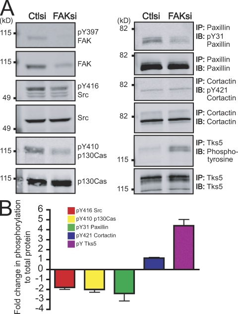 FAK regulates a switch in tyrosine phosphorylation at focal adhesions and invadopodia. (A) Cell lysates from MTLn3 cells transiently transfected with control siRNA (Ctlsi) or FAK siRNA (FAKsi) were analyzed by immunoblotting (IB) or immunoprecipitation (IP)/immunoblotting and probed with phospho-specific antibodies anti-pY397 FAK, anti-pY416 Src, anti-pY410 p130Cas, anti-pY31 paxillin, anti-pY421 cortactin, or antiphosphotyrosine and antibodies to total proteins anti-FAK, anti-Src, anti-p130Cas, antipaxillin, anticortactin, or anti-Tks5/FISH. (B) Quantification of immunoblots or immunoprecipitation/immunoblots is expressed as fold change in phosphorylation to total protein. Fold change was determined by the ratio of normalized phosphorylation to total protein in FAK siRNA compared with control siRNA. Data shown are means ± SEM of three independent experiments.