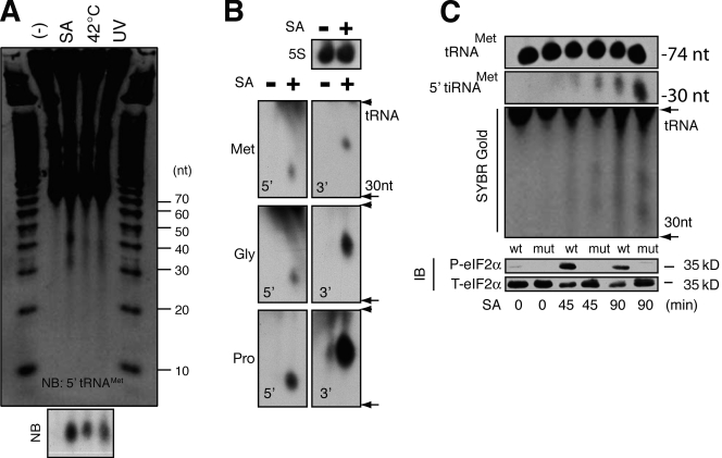 Stress-induced production of tiRNA. (A) U2OS cells treated with sodium arsenite (SA; 500 µM, 2 h), heat (42°C, 2 h), or UV irradiation (200 J/m 2 , 12 h) were extracted with Trizol, and total RNA (10 µg) was separated on a 15% TBE-urea gel before processing with SYBR gold. The gel was also transferred to membrane and hybridized to a biotin probe complementary to the 5′ end of tRNA Met (NB). (B) Northern blotting analysis of RNA extracted from U2OS cells cultured in the absence (−) or presence (+) of sodium arsenite (500 µM, 2 h). Blots were hybridized to cDNAs complementary to the 5′ or 3′ fragments of the indicated tRNAs (bottom) or 5S RNA as a loading control (top). (C) MEFs derived from wild type (wt) or eIF2α (S51A) mutant (mut) mice were cultured in the absence (−) or presence (SA) of sodium arsenite (500 µM) for the indicated times before Trizol extraction. tRNA and 5′ tRNA fragments were quantified by Northern blotting (top) and SYBR gold staining (middle). Phospho- and total eIF2α was quantified by immunoblotting (IB; bottom).