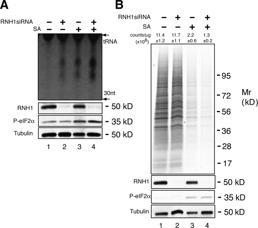 Effect of RNH1 on tiRNA production. (A) U2OS cells were treated with siRNA targeting RNH1 (lanes 2 and 4) 48 h before culturing cells in the absence (lanes 1 and 2) or presence (lanes 3 and 4) of sodium arsenite (SA, 200 µM) for 2 h. Cells were extracted with Trizol, and RNA was separated by 15% PAGE and stained with SYBR gold. The location of tRNAs is indicated. tiRNAs migrate as small RNAs centered around 30 and 40 nucleotides. The expression of RNH1, phospho-eIF2α, and tubulin were quantified by Western blotting analysis (bottom). (B) U2OS cells were treated with siRNAs targeting RNH1 (lanes 2 and 4), then cultured in the absence (lanes 1 and 2) or presence (lanes 3 and 4) of sodium arsenite (SA, 500 µM) for 1 h. Cells were then processed for gel electrophoresis and autoradiography (top) or TCA precipitation and scintillation counting (mean counts per microgram ± SD, n = 3, are shown over each lane). The expression of RNH1, phospho-eIF2α, and tubulin were quantified by Western blotting analysis (bottom).