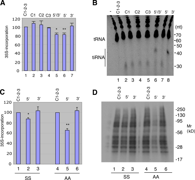 Effect of endogenous tiRNAs on protein synthesis. (A) Endogenous 5′ and 3′ (lane 5), 5′ (lane 6), or 3′ (lane 7) tiRNAs extracted from angiogenin-treated U2OS cells were transfected into U2OS cells using lipofectamine. After 6 h, cells were pulsed with [ 35 S]methionine-containing medium for 30 min before protein extraction. Total counts per minute (cpm) per microgram of protein was normalized to cells treated with a combination of three PIWI-associated control RNAs (Control 1-2-3, lane 1; Control-1, lane 2; Control 3, lane 3) and expressed as a mean ± SD ( n = 3). *, P = 0.01; **, P = 0.01. (B) U2OS cells were transfected with the indicated control RNAs (lanes 1–5) or endogenous 5′ (lane 7), 3′ (lane 8), or 5′ and 3′ (lane 6) tiRNAs. After 6 h, cells were washed, and Trizol extracts were separated on a 15% TBD-urea gel and stained with CYBR gold. (C) Wild-type (SS) and S51A mutant (AA) MEFs were transfected with control RNAs (lanes 1 and 4) or endogenous 5′ (lanes 2 and 5) or 3′ (lanes 3 and 6) tiRNAs, pulsed with [ 35 S]methionine-containing medium, and extracted. Total cpm per microgram of protein was normalized to that of cells treated with control RNA and expressed as means ± SD ( n = 3). *, P = 0.01; **, P = 0.003. (D) Samples from C were separated by 15% SDS-PAGE, transferred to nitrocellulose, and exposed for autoradiography. Migration of molecular size markers is shown at the right.