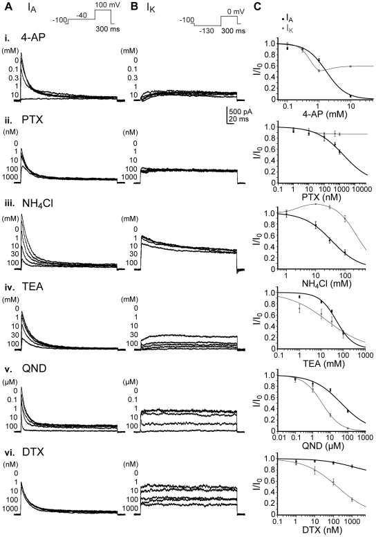 Pharmacological inhibition of K v currents in hNPCs. Biophysically separated A-type (I A ) and delayed-rectifying (I K ) K v currents in proliferating hNPCs were differentially inhibited by the 4-aminopyridine (4-AP, i), phrixotoxin-1 (PTX, ii), ammonium chloride (NH 4 Cl, iii), tetraethylammonium chloride (TEA, iv), quinidine (QND, v) and α-dendrotoxin (DTX, vi). (A): Peak amplitudes of I A were measured during a depolarizing voltage step from −130 mV to 0 mV between 0 and 20 ms (inset). (B): I K was determined between 280 and 300 ms of a 100 mV depolarization step following a −40 mV prepulse during the application of different antagonist concentrations (insets). (C): Both current values were normalized to the non-inhibited peak amplitudes. Dose-response relationships were fitted with the Hill equation and IC 50 values were determined (see Tab. 2 ). Note that PTX selectively and 4-AP preferentially inhibited I A , while DTX selectively blocked I K .