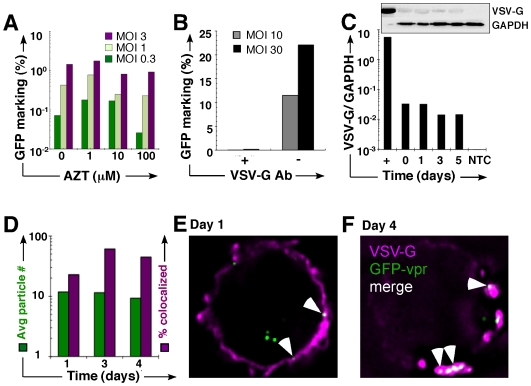 Vector particles persist in an unprocessed state. (A) 293T 1° cells were incubated overnight in AZT, followed by 3-hour vector exposure in the presence of AZT, pronase wash, and co-culture (without AZT) with Jurkat 2° cells. GFP expression was determined in the 2° CD45+ (Jurkat) population by FACS. (B) Jurkat cells were exposed to vector, pronase washed, and placed in co-culture with 293T cells with (+/−) anti-VSV-G neutralizing antibody. GFP was examined by FACS. (C) VSV-G immunoblot of cell lysates prepared from from vector-exposed, pronase-washed Jurkat cells probed with antibody against VSV-G or β-tubulin. The positive control is neat vector; each lane corresponds to the day of (or after) vector exposure. (inset) Densiometric analysis of immunoblot (D) Jurkat cells were exposed to GFP-vpr tagged vector, washed with pronase, and propagated in culture for 4 additional days. The vector genomes are GFP-vpr labeled (green), and anti-VSV-G is fluorescently labeled with the 2° antibody AlexaFluor 647 (far-red). Colocalized GFP-vpr and p24 particles (yellow) were counted in each cell. The left y- axis represents the percent of total cells counted with a given number of colocalized particles. The right y- axis represents the percentage of particles associated with VSV-G envelope. (E, F) Representative images of Jurkat cell on day 1 and 4, respectively, after vector exposure. GFP-vpr particles (green), anti-VSV-G antiserum (magenta), and colocalized particles (white) are shown.