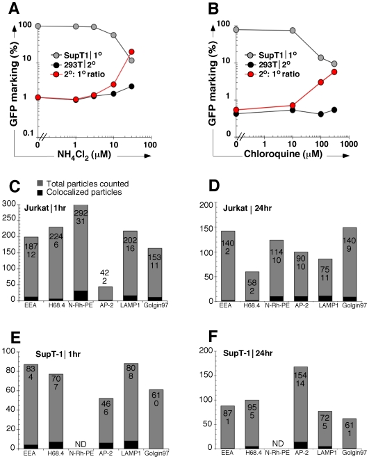Endosomal acidification increases the proportional efficiency of secondary transfer. (A) Effect of endosomal acidification on 2° transfer. SupT1 carrier cells were pretreated with escalating doses of ammonium chloride or chloroquine (B) followed by vector exposure, pronase wash, and 24-hour coculture with 293T cells. Primary transduction (gray), secondary transfer (black), and proportional % efficiency of secondary transfer (red) are shown. (C,D) Colocalization of vector genomes with representative endosomal markers. Jurkat cells and (E,F) SupT1 cells were exposed to GFP-vpr tagged vector for 1 (C,E) or 24 hours (D,E). Cells were stained with antibodies against indicated endosomal cellular compartments ( x-axis ), as well as Golgin 97 (negative control) and LAMP1 (positive control), and cells were visualized by immunofluorescent microscopy for determination of co-localization of particles and specific compartment markers. The total number of particles (gray, numerator in each column) and total number of co-localized particles (black, denominator in each column) were counted.