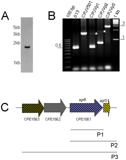 Generation of a C. perfringens agrB mutant and complementing strains. A) Southern blot analyses, as described in Fig. 2 , using EcoRI-digested DNA from CPJV501 and a Dig-labeled probe that detected a single copy of the erm gene. Size of DNA fragments, in kilobases (kb) is shown at left. B) PCR was performed with DNA extracted from the indicated strain and the following pair of primers, agrBFwd and agrBRev in reactions containing DNA from strain 13 (S13), CPJV501 and CPJVp1; agrBFwd and argDR for CPJVp2 and agrF1 and agrD100R for CPJVp3. DNA ladders (100 bp or 1 kb) were included in the first and last lane of the gel. Asterisks show the expected PCR product when the primers amplified the Tn5-disprupted agr B gene. C) Genes cloned in the E. coli-C. perfringens shuttle plasmid pJIR750 to complement the agr B transposon mutant. As shown, P1 encodes the agr B gene alone, P2 the agr B and agr D genes and P3 encodes two-genes (CPE1562 and CPE1563) upstream the agr B gene (CPE1561) and agr B and agr D.