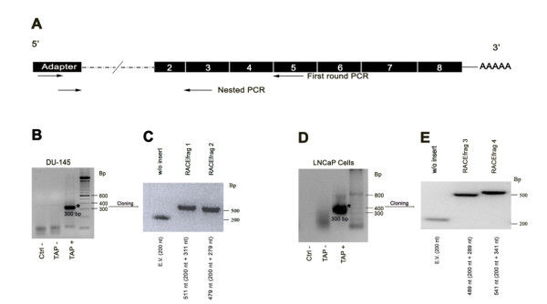 5'RLM-RACE procedure in DU-145 and LNCaP prostate cancer cell lines . A) Two forward primers used for the two rounds of RACE-PCR recognizing the adapter sequence, and two reverse primers, against the fifth and third exon of SHBG, are shown. B) In the DU-145 5' RACE, one major band (asterisk) was obtained. TAP+ samples include total RNAs treated with Tobacco Acid Pyrophosphatase, and TAP-samples are negative controls that include RNAs that did not incorporate the RNA Adapter oligonucleotide. Ctrl-: Negative controls performed using water instead of cDNA. C) Two cloned products were obtained from the major band: RACEfrag 1 and RACEfrag 2. The empty vector (E.V.) provided an amplification product of 200 nucleotides, corresponding to the M13 flanking sequence. D) In the LNCaP 5' RACE, one major band (asterisk) was obtained. E) The cloning of the major band generated RACEfrag 3 and RACEfrag 4 products. Insert and M13 flanking sequence size are indicated in the four RACEfrags.