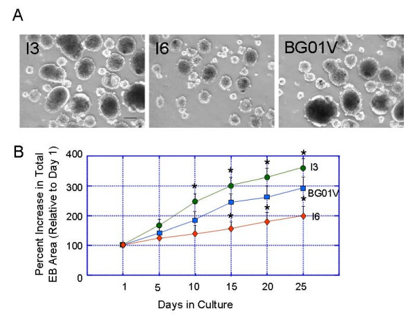 Differences in the embryoid body (EB) growth rates between the hESC lines I3, I6 and BG01V . hESC colonies were removed from feeder monolayers and grown in low attachment dishes. (A) Phase contrast images of the EBs in the three cell lines cultured in suspension for 10 days. (B) A plot showing differences in the EB growth rate between three cell lines. The growth rate of EBs was calculated by the increase of EB size (total EB area) in each 5 days from day 1 though 25. Values are expressed as percent increase in total areas of EBs (mean ± SEM). Statistical differences for EB growth rates after 10 days in culture between I3 and I6 or BG01V are significant * p