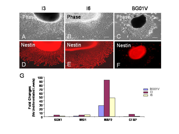 Difference in directed neural differentiation between hESC lines I3, I6 and BG01V . Two days after transferring EBs to a poly-D-lysine/laminin substrate, parallel immunocytochemistry and quantitative RT-PCR were performed in hESC-derived cell populations. Immunofluorescent staining for Nestin (A-F) shows that both the I3 and the I6 cells differentiate into the enriched Nestin + neural progenitors while BG01V cells barely generate Nestin + cells. Bars in A-C = 100 μm. (G) qRT-PCR analysis of the gene expression of the neural progenitor markers SOX1 and MSI1, mature neuronal marker MAP2, and astrocyte marker GFAP among the three cell lines at day 17 of differentiation. The Y-axis represents the fold changes of the gene expression for each cell line when compared to its own undifferentiated levels at day 0. The relative levels of these genes expressed by the I3 and I6 cells are higher than those expressed by BG01V cells.