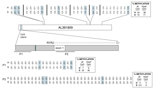 Summary of bisulfite sequencing analyses of male heart (H) and spleen (S) DNA in the RYR2 gene sequence represented by BAC clone RP11-47A4 (AL391809) . More striking methylation differences between these tissues are observed at dispersed CpGs outside of the CpG island (top) than in the island (bottom). Each CpG analyzed by bisulfite sequencing is represented by a fraction in which the denominator is the total number of sequenced clones of PCR products amplified from bisulfite-converted DNA, and the numerator is the number of times methylation was detected at that site. Data for CpGs contained within Hpa II sites (CCGG) are shaded gray. The results for distributed CpG sites not included in CpG islands are indicated along the top, with their relative positions in the AL391809 sequence indicated. Vertical bars separate the sites on different PCR amplicons. The CpG island is highlighted by the gray vertical bar in the schematic of the AL391809 sequence and expanded below to indicate the position of exon 1 of RYR2 gene (white) and the GC boxes (dark gray). Two PCR products (P1 and P2) containing multiple CpGs within this CpG island were analyzed by bisulfite sequencing, and the results are indicated at the bottom of the figure. Boxes contain overall average methylation levels for heart (H) and spleen (S) for CpGs sampled outside of the CpG island (top) and for CpGs sampled within the CpG island (bottom).
