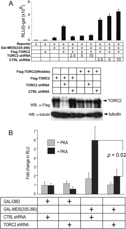Knockdown of TORCs prevents PKA-mediated activation of the MEIS1A C terminus. A , upper panel , effect of TORC2 shRNA or non-silencing control ( CTRL ) shRNA on GAL-MEIS1A-(335–390) luciferase transcription augmented by TORC2. The indicated plasmids were co-transfected with the pML5xUAS reporter in HEK293 cells. Lower panel , knockdown of FLAG-TORC2 protein levels in TORC2 or control shRNA-treated cells was verified by immunoprecipitation with M2 beads followed by Western blot ( WB ) analysis with an anti-FLAG antibody. Cell extracts were probed for tubulin, confirming equivalent protein concentrations in each sample. FLAG-TORC2(Wobble) served as an RNA interference-resistant control. B , the role of endogenous TORC2 on transcriptional activation through the MEIS1A C terminus. Cells were transfected with the pML5xUAS reporter and expression vectors for either the GAL DBD or GAL-MEIS1A-(335–390), along with a PKA expression vector or empty plasmid. Transcriptional activation by PKA through the MEIS1A C terminus was abrogated by coexpression with the TORC2-specific shRNA but not the control shRNA. The experiment was conducted in triplicate. Error bars are S.D., and p signifies the results of the Student's t test applied to values for PKA-induced activity in the presence of control shRNA versus TORC2 shRNA. RLU , relative luciferase units.