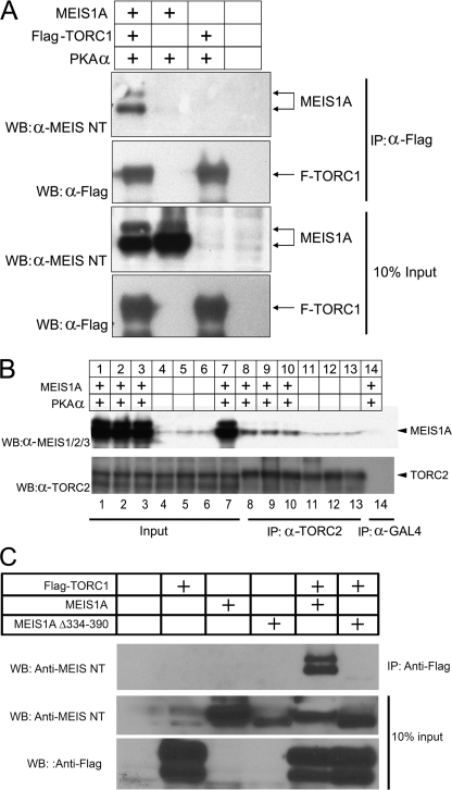 MEIS1A interacts with TORC1 and TORC2. A , co-immunoprecipitation assay of FLAG-tagged TORC1 and untagged MEIS1A in transfected HEK293 cells. Anti-MEIS NT and anti-FLAG Western blot ( WB ) analyses were performed on FLAG-TORC1 immunoprecipitates ( IP ) prepared with anti-FLAG M2 affinity agarose. 10% input levels of MEIS1A and FLAG-TORC1 are indicated. B , upper panel , Western blot analysis of transfected and endogenous MEIS1A detected in immunoprecipitates of endogenous TORC2 from HEK293 cells. The experiment was performed in triplicate and the results of each assay are shown. Lower panel , anti-TORC2 Western blot analysis showing immunoprecipitated TORC2 by the anti-TORC2 antibody but not the control anti-GAL4 antibody. 10% input levels of MEIS1A and TORC2 are shown. C , a MEIS1A mutant lacking the C terminus fails to co-immunoprecipitate with TORC1. HEK293T cells were co-transfected with a FLAG-tagged TORC1 expression vector and a vector encoding either wild-type MEIS1A or a mutant lacking the TORC-responsive C terminus (MEIS1A-(Δ334–390)). On the second day following transfection, cells were treated with the proteasome inhibitor MG132 and cell lysates prepared 5 h later. Immunoprecipitation of TORC1 was performed with an anti-FLAG antibody, and the presence of MEIS1 proteins in the immunoprecipitates was subsequently assessed by Western blotting.