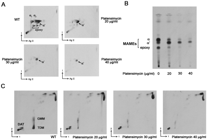 TLC-autoradiography of M. smegmatis lipid extracts and cell wall bound mycolates following platensimycin treatment. Platensimycin (0, 20, 30, 40 µg/ml) were added to M. smegmatis cultures at an OD 600 nm of 0.4 for 8 h prior to labelling with 1 µCi/ml [1,2- 14 C]acetate for 12 h. (A) 2D-Ag 2+ TLC using silica gel plates developed twice in hexane-ethyl acetate (95∶5) (direction I) then thrice in petroleum ether-diethyl ether (85∶15) (direction Ag II). (B) Cell wall bound mycolate profiles were revealed following two developments in petroleum ether-acetone (95∶5). (C) [ 14 C]-Apolar lipids were extracted and resolved by TLC; direction 1, chloroform-methanol-water (100∶14∶0.8); direction 2, chloroform-acetone-methanol-water (50∶60∶2.5∶3). DAT; diacyltrehalose, GMM; glucose monomycolate, TDM; trehalose dimycolate. Autoradiograms were produced by overnight exposure to film to reveal [ 14 C]-labelled lipids.